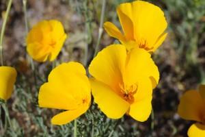 mexicain, or, pavot, plante, fleur