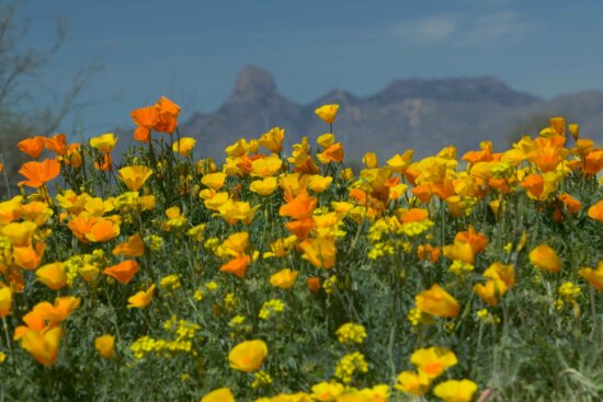 mexican, poppies, mountains