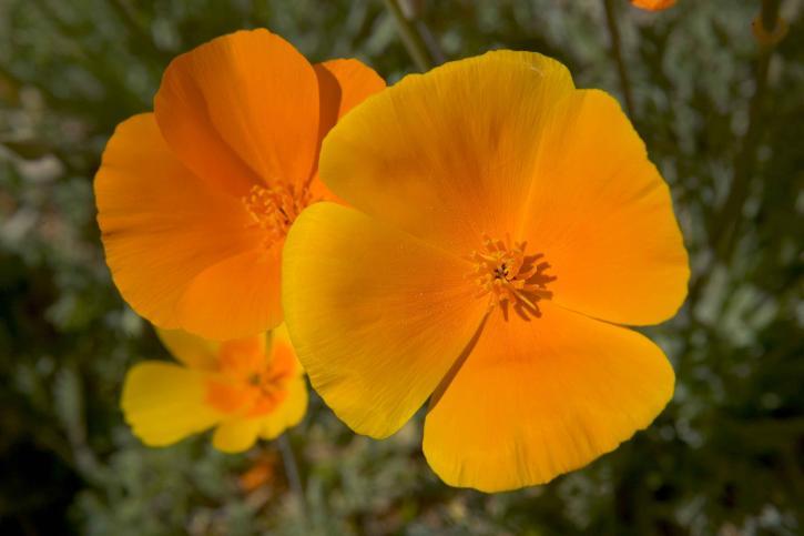 mexicain, pavots, fleur