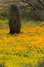 mexicain, coquelicots, fleurs, cactus, désert, plantes