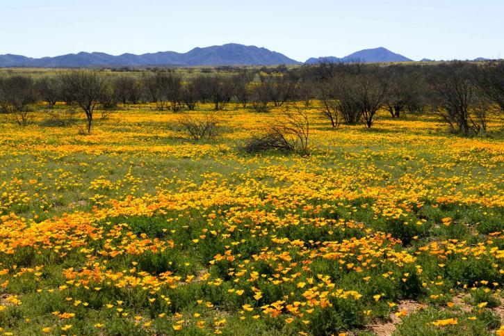 mexican, poppy, field