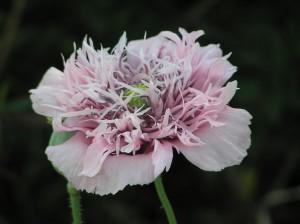 opium, poppy, flower