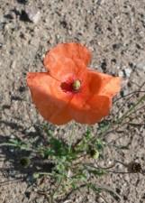 orange, poppy, flower