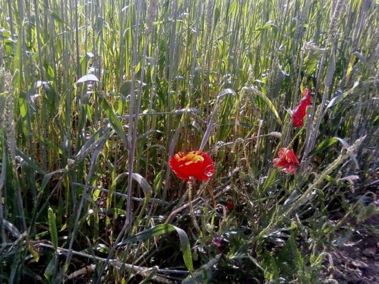 poppy, capsules, flowers, agricultural, fields