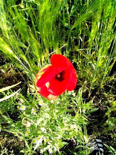 red, poppies, flower, wild