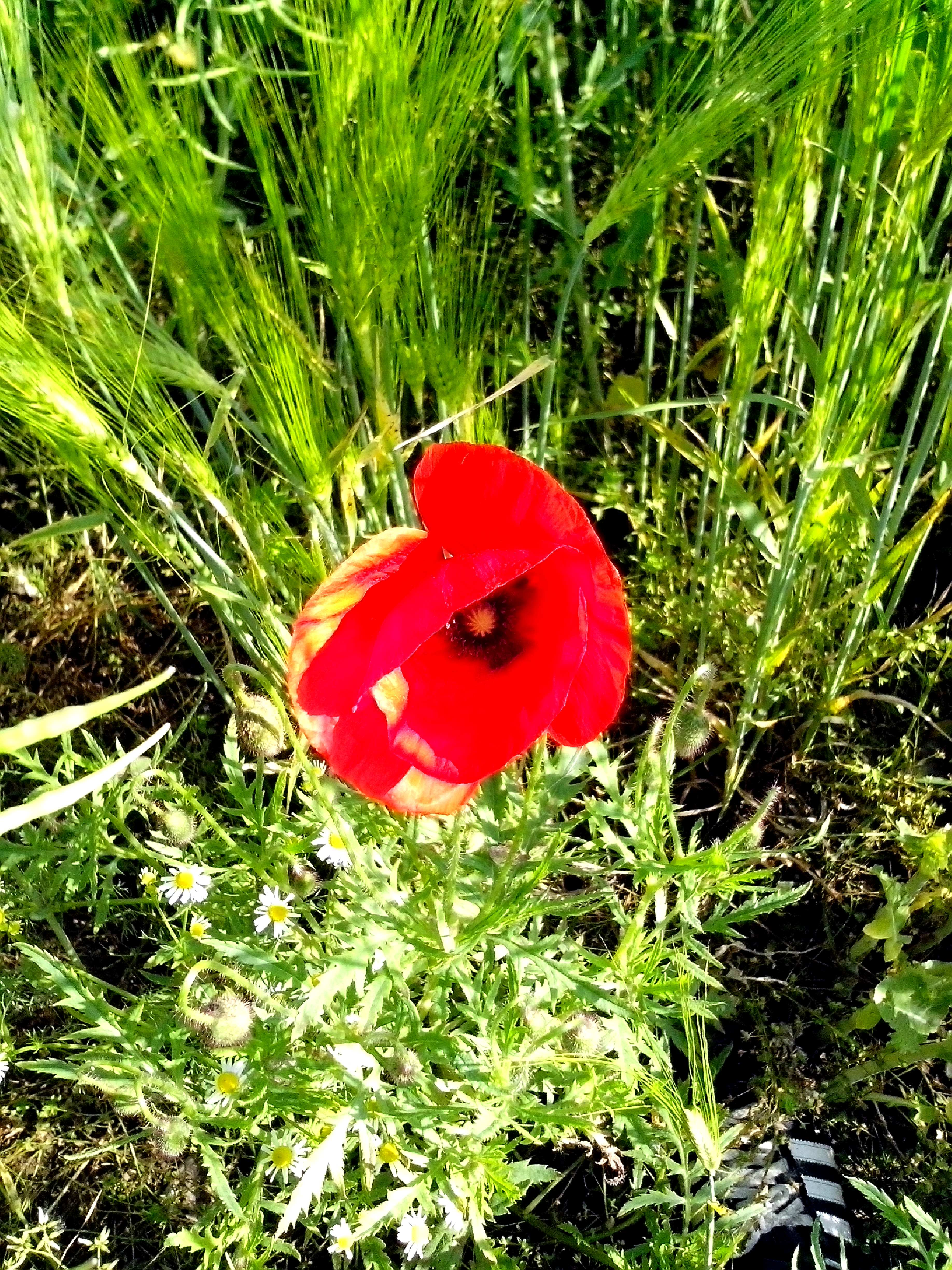 Free Picture Red Poppies Flower Wild