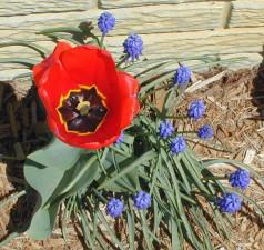 red, poppy, flower