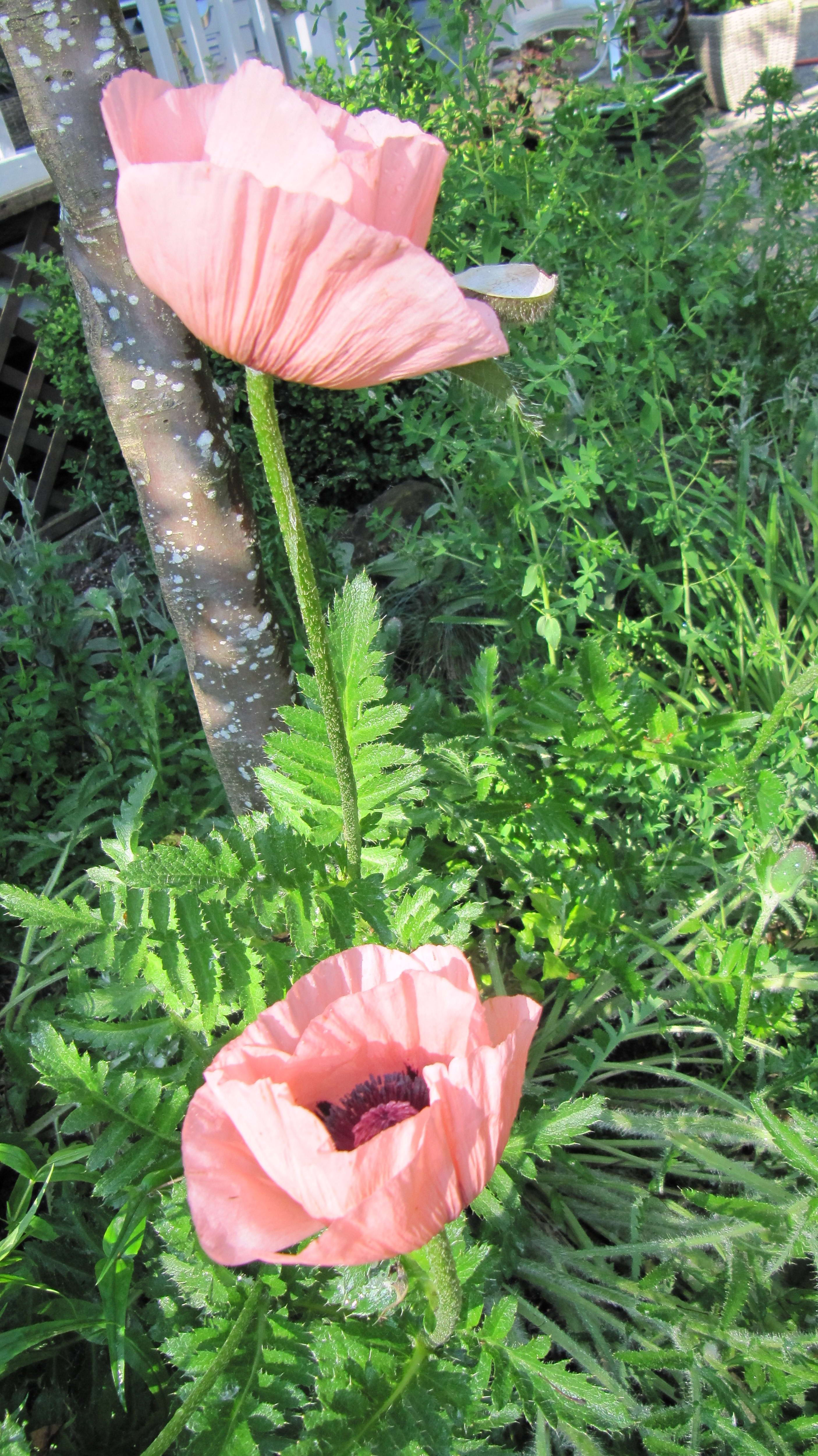 Free photograph; two, poppy, flowers, grass