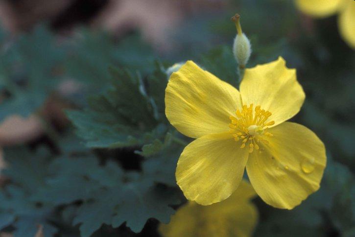 yellow, petals, celandine, poppy, flower, stylophorum, diphyllum
