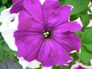 púrpura, flor blanca, hierba