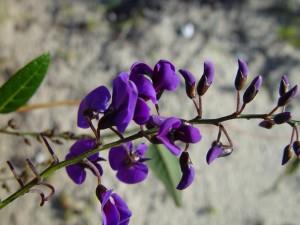фіолетовий, виклик, піску, дюни, tamala, парк