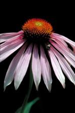 mor, coneflower, flwer, Ekinezya, purpurea, bitki