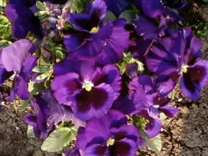 темно фиолетовые цветы, крупным планом, огород, цветение