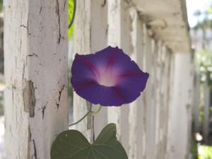 purple flower, fence