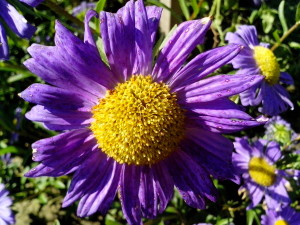 purple flower, yellow, center