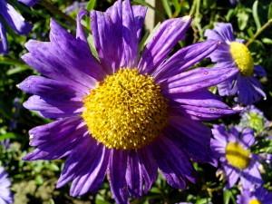 Фиолетовый цветок, желтый, центр