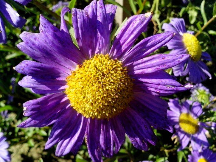 purple flower, yellow, center