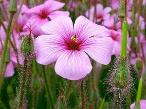 ljubičasto cvijeće, pupoljci, latice, trava