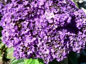 фиолетовые цветы, Буш
