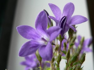 purple flowers, up-close, photo