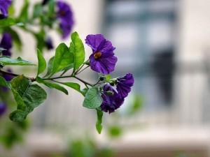 purple flowers, balcon
