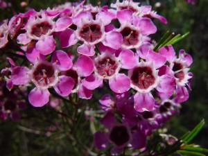 purple, geraldton, wax, flowers, candlewood