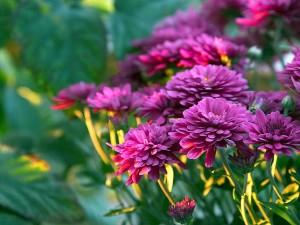 purple, mums, flowers