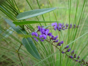 púrpura, nativo, enredadera, planta