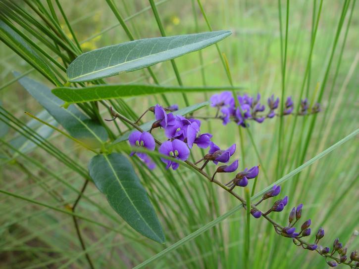 fialová, nativní, liána, rostlina
