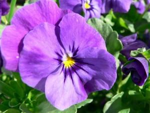purple, pansy, flower
