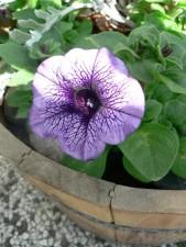 fialová, Petúnie, květ