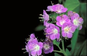 violetti, Hunajakukka, kukka