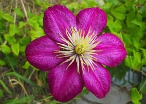 kwiat fioletowy, czerwony, trawa