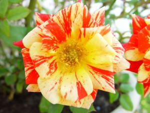 rouge, or, fleur