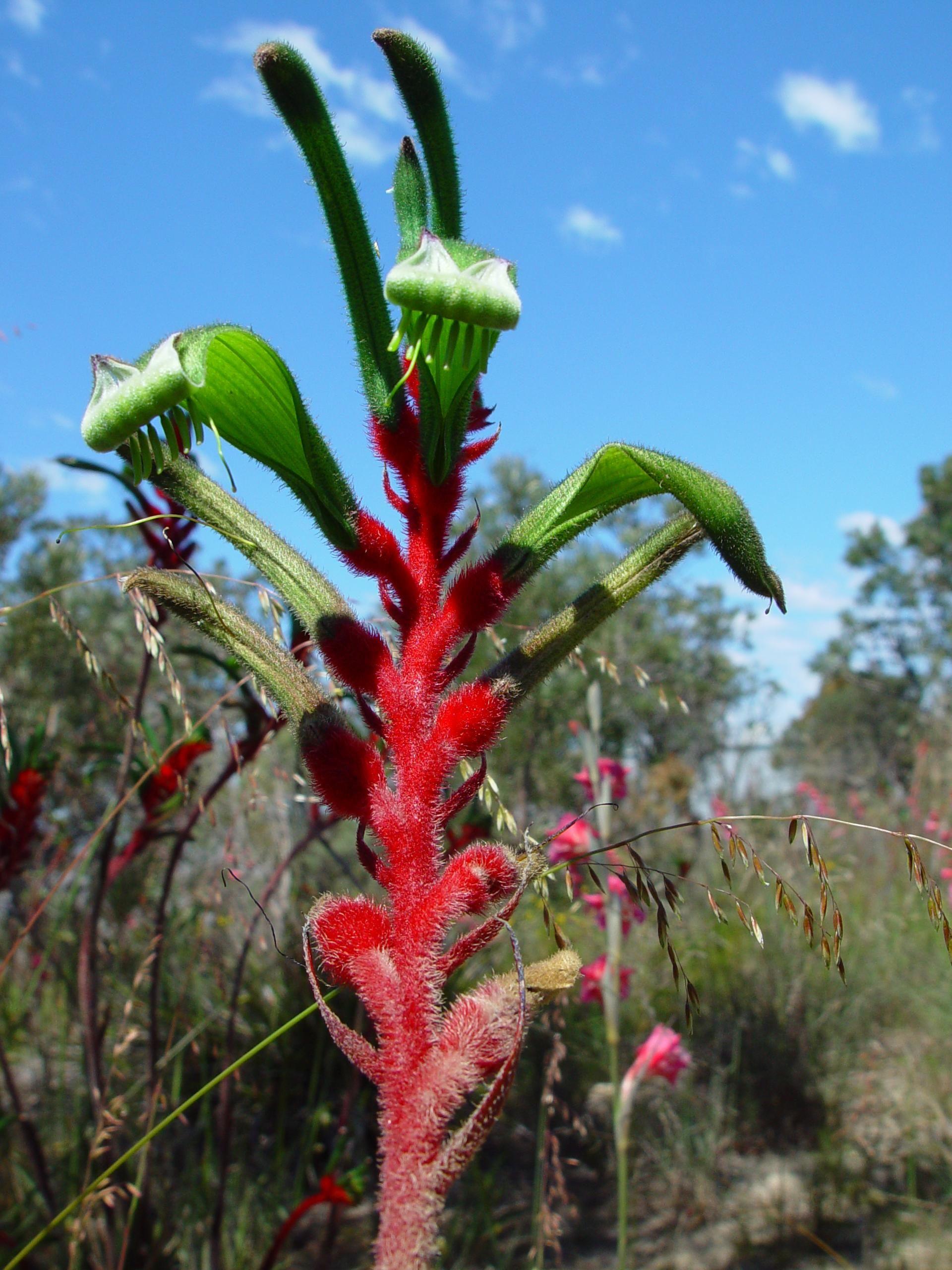Image Libre Rouge Vert Kangourou Fleur Landsdale Jardins