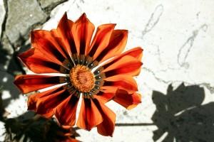 rouge, orage, fleur, l'image