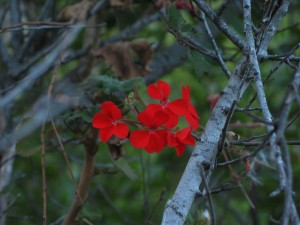 red flower, bloom