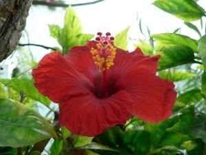 red flower, green leaves, grass