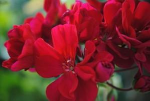 red flowers, macro