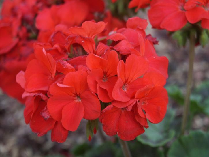 fleurs rouges, vert, de la saleté