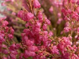 red, heather, flower