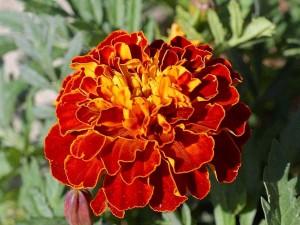 λουλούδια κόκκινα, κίτρινα, ομορφη,