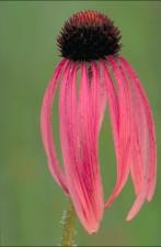 reddish, pink, narrow, leaved, coneflower, echinacea, angustifolia, flower, dark, purple, center