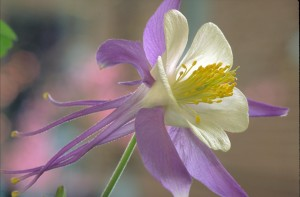 rocky, mountain, columbine