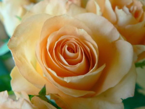 apricot, colored, rose, close