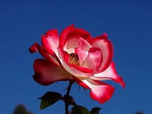balboa, park, roses