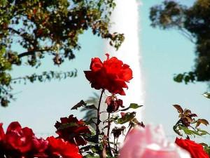 balboa, parque, rosas, jardín