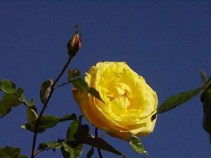 balboa, parc, jaune, roses, jardin