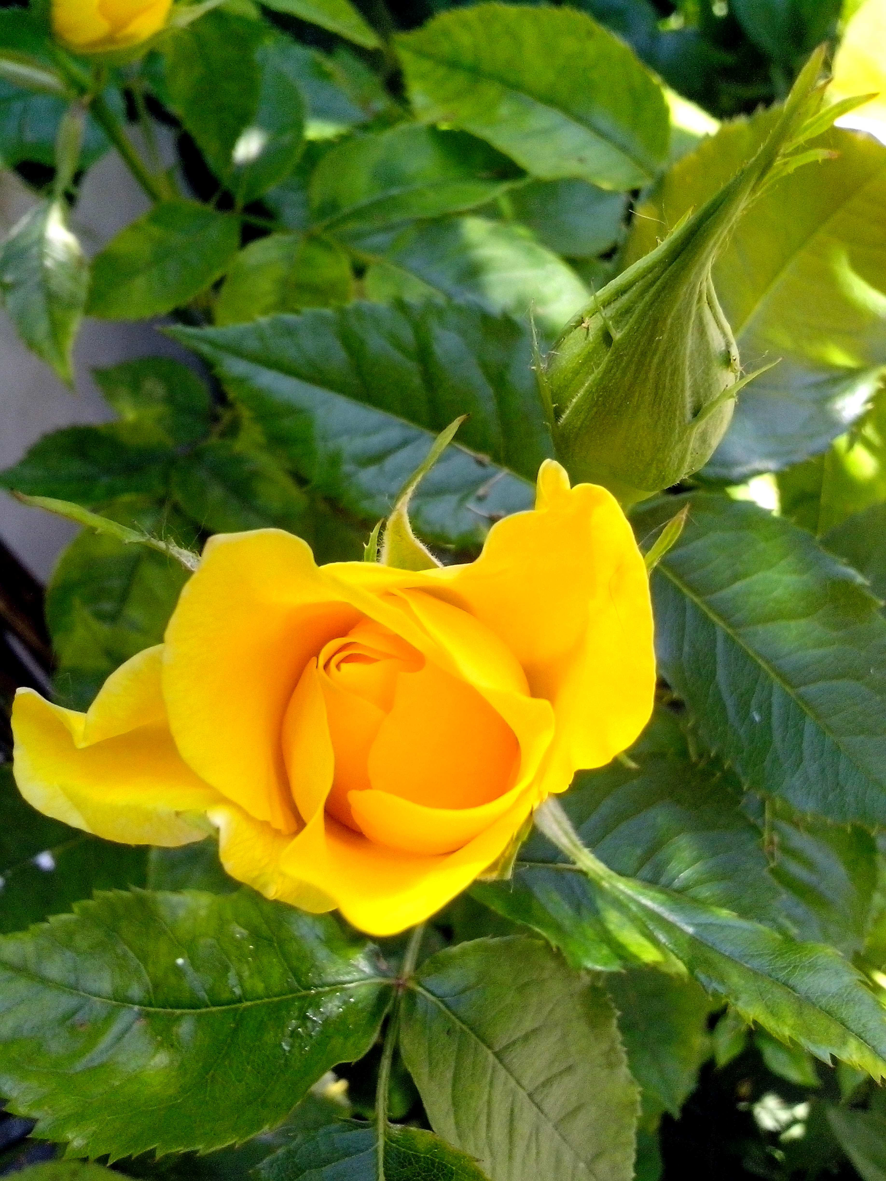 free picture: beautiful, bright yellow, rose, flower