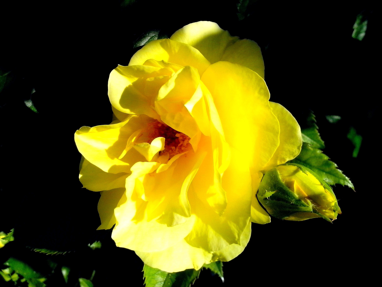 Free photograph; bright, yellow, rose, flower
